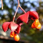 Spindelstrauch Frucht rot orange Euonymus sachalinensis 01