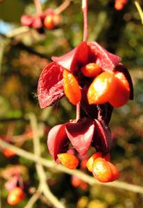 Spindelstrauch Frucht rot orange Euonymus sachalinensis 02