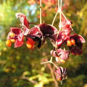 Spindelstrauch Frucht rot orange Euonymus sachalinensis 03