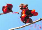 Spindelstrauch Frucht rot orange Euonymus sachalinensis 04
