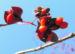 Zurück zum kompletten Bilderset Spindelstrauch Frucht rot orange Euonymus sachalinensis