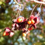 Spindelstrauch Frucht rot orange Euonymus sachalinensis 05