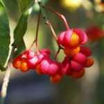 Spindelstrauch Pfaffenhuetchen Frucht rot orange Euonymus europaeus 02