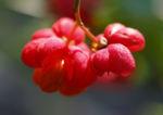 Spindelstrauch Pfaffenhuetchen Frucht rot orange Euonymus europaeus 04