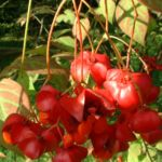 Bild: Großfrüchtiges Pfaffenhütchen Frucht rot Euonymus planipes