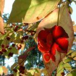 Spindelstrauch Euonymus planipes 04