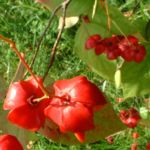 Spindelstrauch Euonymus planipes 07