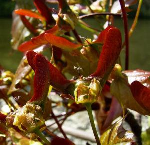 Spitz Ahorn Baum Bluete gelb rot Acer platanoides Crimson King 03