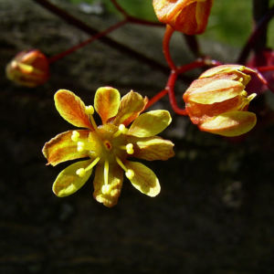 Spitz Ahorn Baum Bluete gelb rot Acer platanoides Crimson King 04