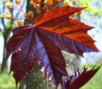 Spitz Ahorn Baum Bluete gelb rot Acer platanoides Crimson King 05