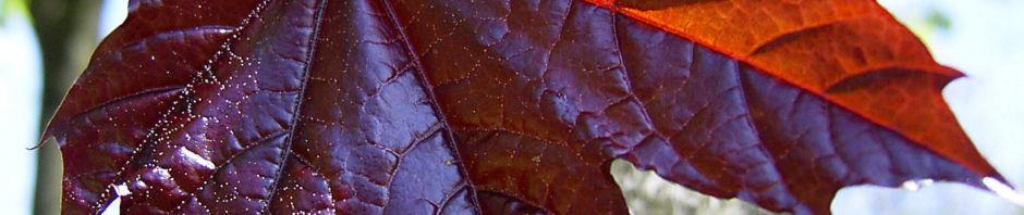 Anklicken um das ganze Bild zu sehen Spitz Ahorn Baum Blüte gelb rot Acer platanoides crimson king