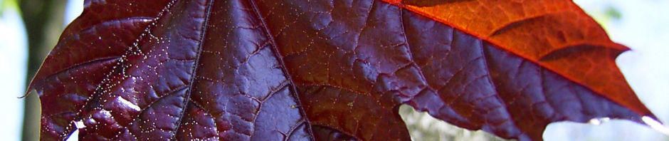 spitz-ahorn-baum-bluete-gelb-rot-acer-platanoides-crimson-king