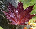 Spitz Ahorn Baum Bluete gelb rot Acer platanoides Crimson King 07