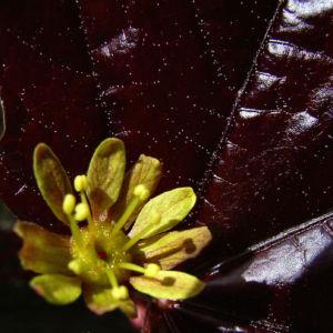 Spitz Ahorn Baum Bluete gelb rot Acer platanoides Crimson King 08