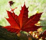 Spitz Ahorn Baum Bluete gelb rot Acer platanoides Crimson King 09