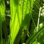 Bild: Spitzwegerich Blüte weiß Plantago lanceolata
