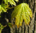 Spitzahorn Blatt hellgruen Acer platanoides 01