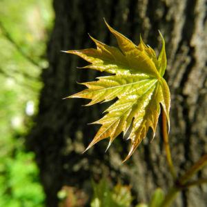 Spitzahorn Blatt hellgruen Acer platanoides 05