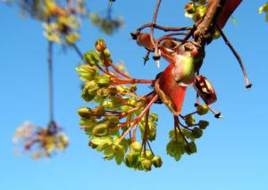 Spitzahorn Bluete gelb Acer platanoides 07