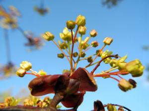 Spitzahorn Bluete gelb Acer platanoides 23