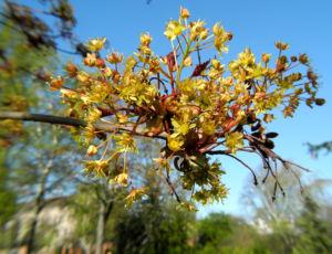 Spitzahorn Bluete gelb Acer platanoides 24
