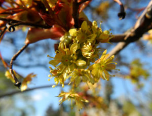 Spitzahorn Bluete gelb Acer platanoides 25