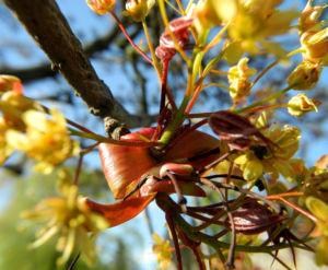 Spitzahorn Bluete gelb Acer platanoides 26