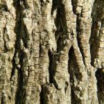 Spitzahorn Rinde grau Acer platanoides 02