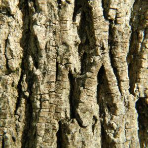 Spitzahorn Blüte gelb Acer platanoides