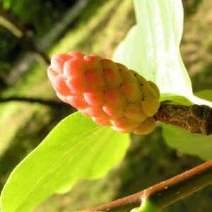 Spitzblaettrige Magnolie Baum Frucht roetlich Magnolia acuminata 02