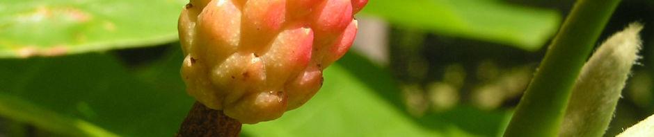 Anklicken um das ganze Bild zu sehen Gurken-Magnolie Frucht rot Magnolia acuminata