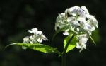 Spitzes Silberblatt Bluete weiss Lunaria rediviva 01