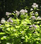 Spitzes Silberblatt Bluete weiss Lunaria rediviva 05