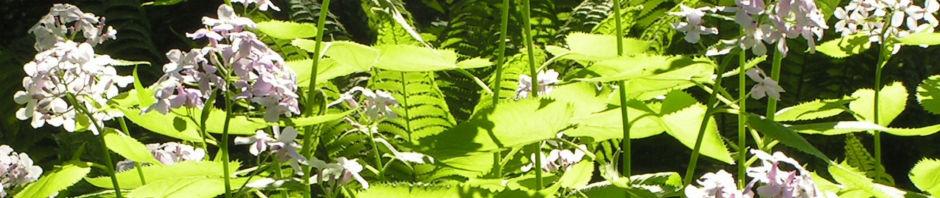 ausdauerndes-silberblatt-bluete-weiss-lunaria-rediviva