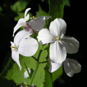 Bild: Spitzes Silberblatt Bluete weiss Lunaria rediviva
