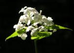 Spitzes Silberblatt Bluete weiss Lunaria rediviva 08