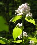 Spitzes Silberblatt Bluete weiss Lunaria rediviva 09