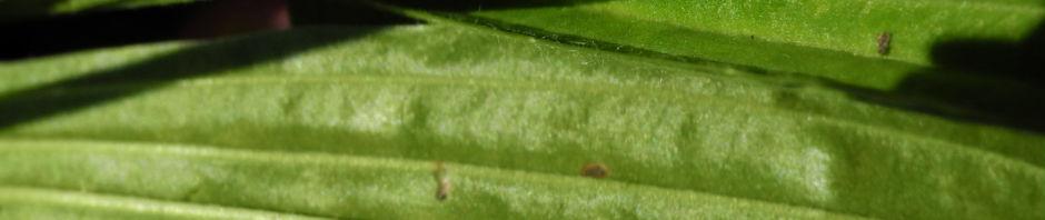 spitzwegerich-bluete-plantago-lanceolata