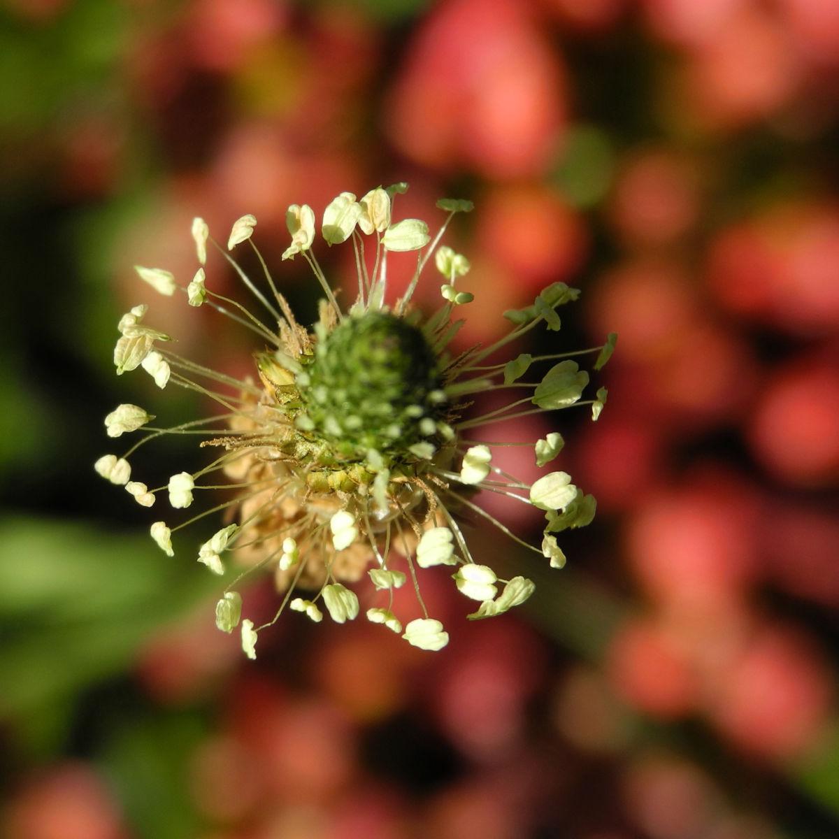 Spitzwegerich Bluete Plantago lanceolata