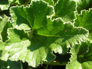 Spritzgurke Frucht gruen Ecballium elaterium 02