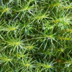 Sprossender Baerlapp gruen Lycopodium annotinum 02