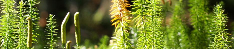 sprossender-baerlapp-gruen-lycopodium-annotinum