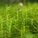 Sprossender Baerlapp gruen Lycopodium annotinum 09