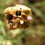 Sprossendes Nelkenkoepfchen Bluete pink Petrorhagia prolifera 06
