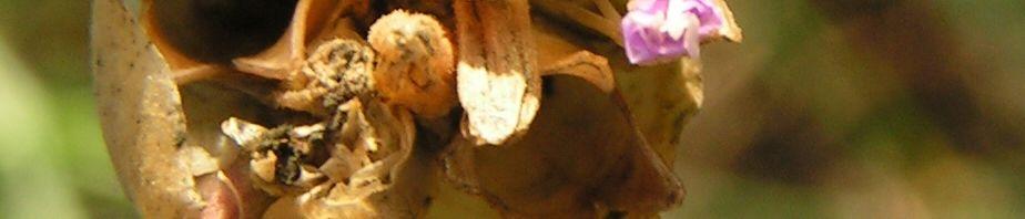 Anklicken um das ganze Bild zu sehen Sprossendes Nelkenköpfchen Blüte pink Petrorhagia prolifera