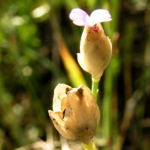 Sprossendes Nelkenkoepfchen Bluete pink Petrorhagia prolifera 09