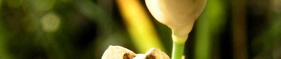 sprossendes-nelkenkoepfchen-bluete-pink-petrorhagia-prolifera