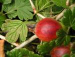 Stachelbeere Frucht gruen rot Ribes uva crispa 01