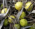 Stachelbeergurke Frucht gelb gruen Cucumis myriocarpus 12