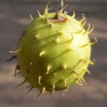 Stachelbeergurke Frucht gelb gruen Cucumis myriocarpus 16